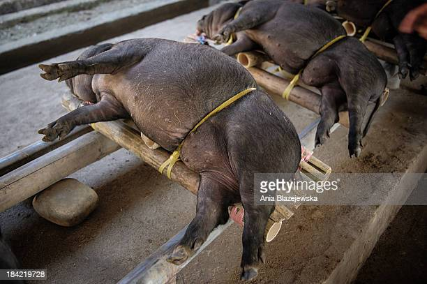 CONTENT] Pigs for sale at a market in Rantepao Tana Toraja