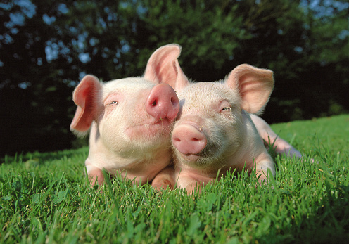 Pigs grazing on the grass field 487525682