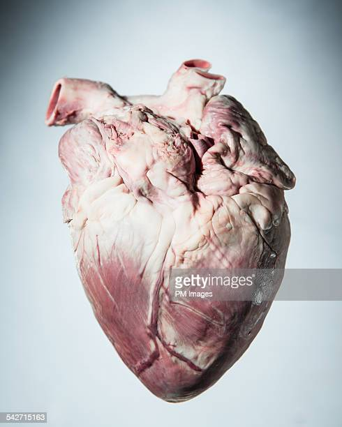 pig's heart - anatomy stock pictures, royalty-free photos & images