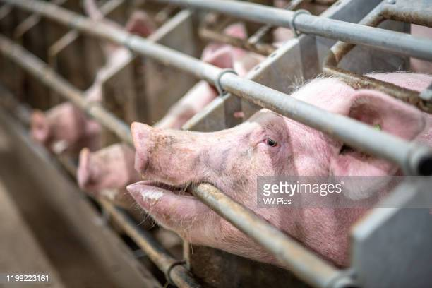 Pigs in a stall poking their snout through a gate Pigs in a stall in Yorkshire, UK.