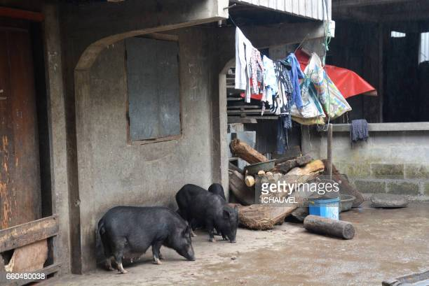 pigs in a village philippines - pigs trough stock pictures, royalty-free photos & images