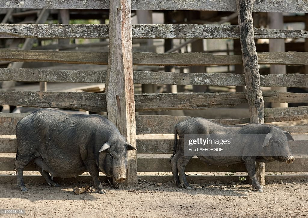Pigs In Bor Kai Village, Lahu Tribe In Thailand On February 16, 2010 - : News Photo
