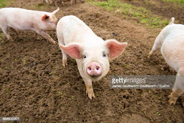 pigs in farm - pig stock pictures, royalty-free photos & images