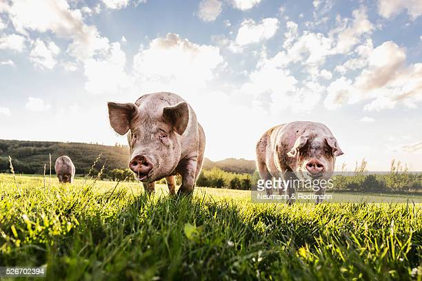 pigs in the pasture - pig stock pictures, royalty-free photos & images