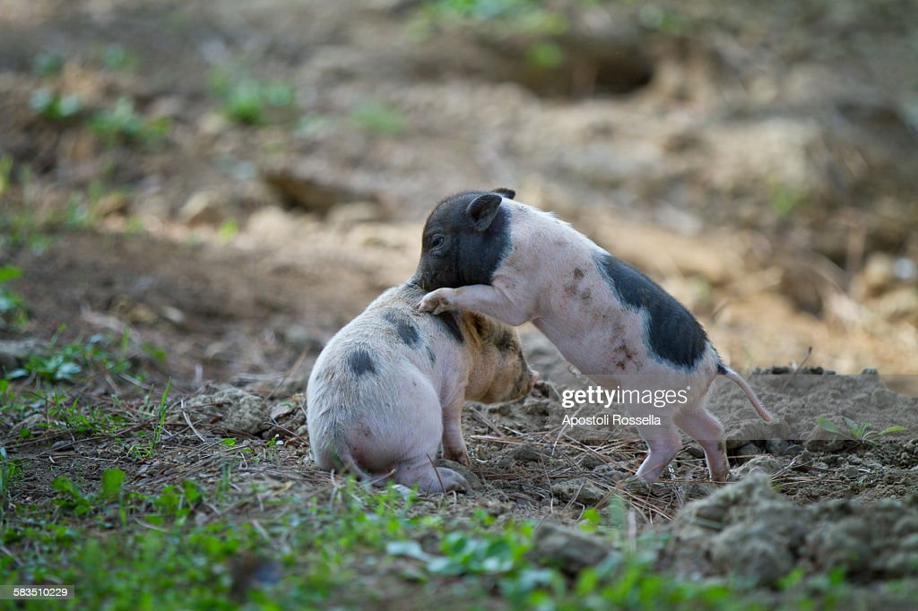 Pigs in the sty : Stock Photo