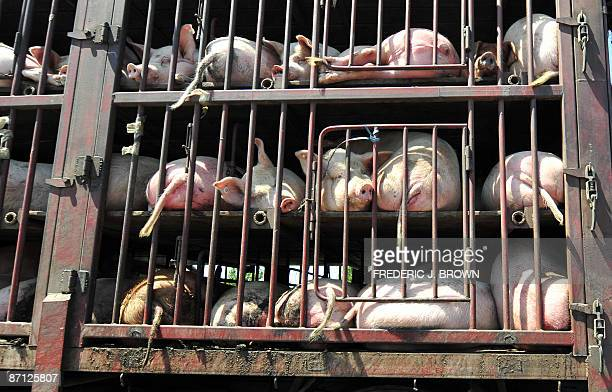 Pigs lay in their pen while being transported on a truck along a highway on the outskirts of central Beijing on May 12 2009 China has ordered stepped...