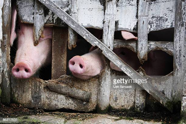 Pigs look out of their pen at a farm on May 1 2009 in Yogyakarta Indonesia The World Health Organisation has issued a phase five Swine Influenza...