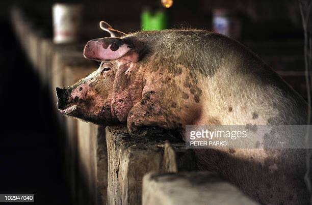 A pigs looks over its pen on a pig farm on the outskirts of Beijing on April 28 2009 There are no 'probable' or confirmed human cases of swine flu in...