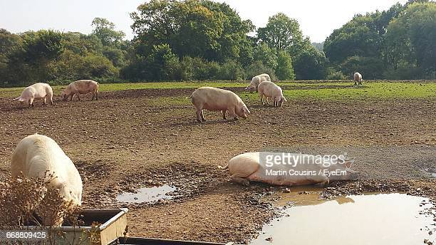 Pigs On Dirt Field