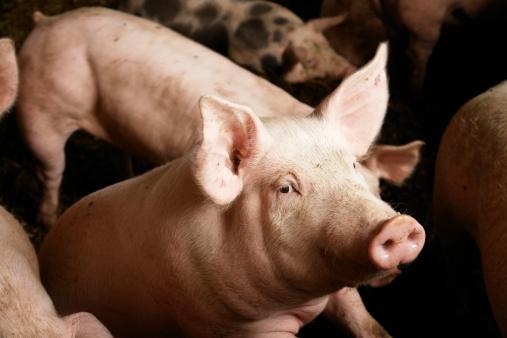 Pigs on the farm 157290177