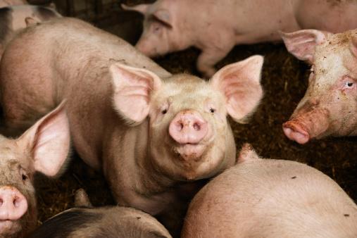 Pigs on the farm 157579878