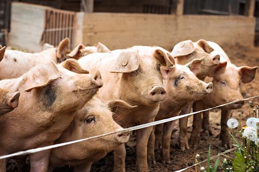 Pigs on the farm. 924194806