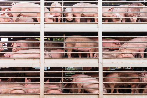 pigs on truck 910870186