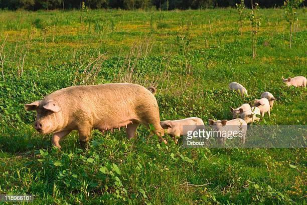 豚 - 雌豚 ストックフォトと画像
