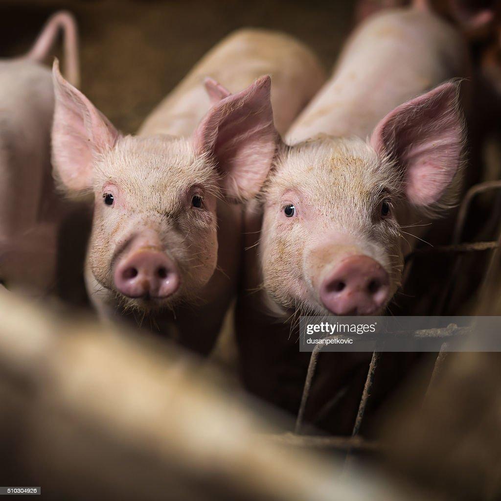 Schweine. : Stock-Foto