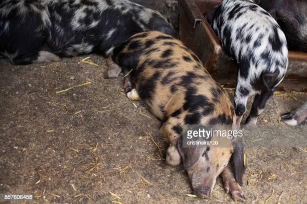 pigs - omnívoro fotografías e imágenes de stock