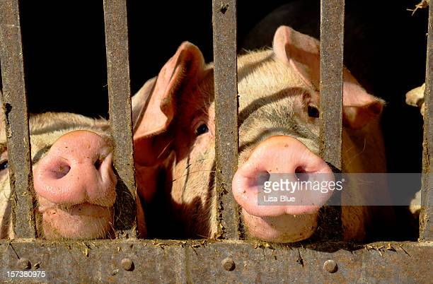 pigs portrait in a stable - pig nose stock pictures, royalty-free photos & images