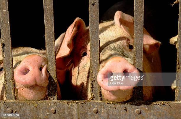 豚のポートレート、安定した - 突き出た鼻 ストックフォトと画像