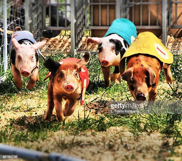 pigs race