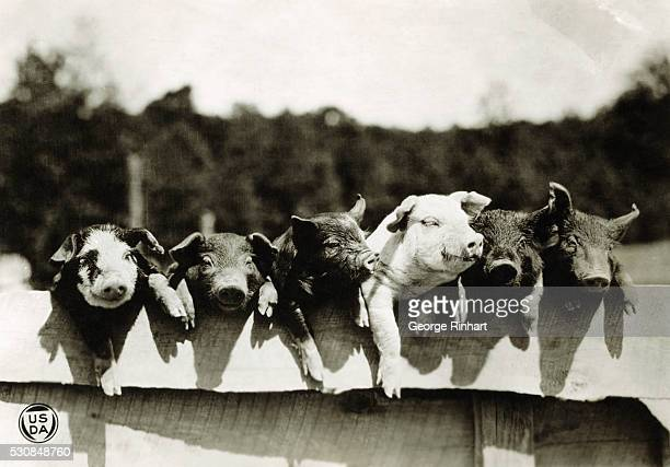 USDA Pigs ready to be turned into bacon Undated photograph