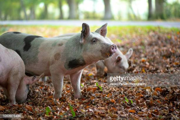 pigs released into the new forest national park uk to eat acorns which are poisonous to the new forest ponies - pannage - pig nose stock pictures, royalty-free photos & images