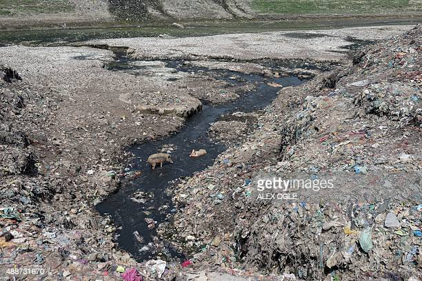 Pigs rest in a polluted tributary flowing into the River Ganges in the Indian town of Varanasi on September 17 2015 The Ganges is heavily polluted...