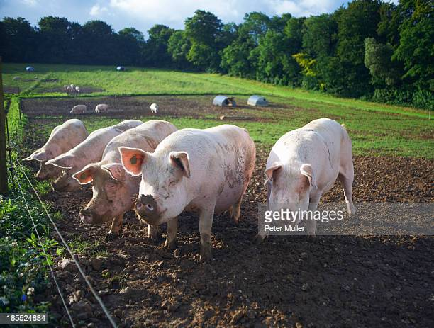 pigs rooting in dirt field - pig stock pictures, royalty-free photos & images
