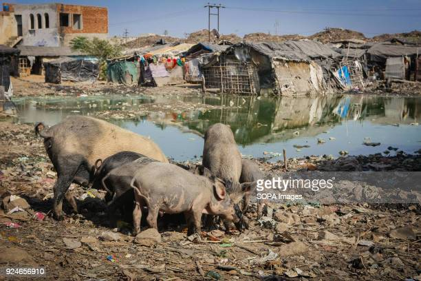Pigs seen eating rubbish near a slum Over 25 million people live in Delhi India What is particularly problematic in India is environmental issue of...
