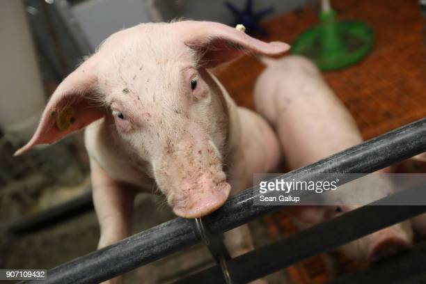 Pigs stand in a pen at the 2018 International Green Week agricultural trade fair on January 19 2018 in Berlin Germany German authorities are...
