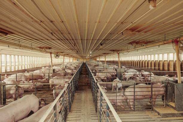 NE: A Hog Farm As Pork Prices Increase Amid Meat Industry Changes From Coronavirus