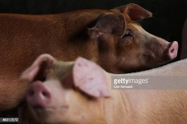 Pigs stand inside their pen at a farm on May 1 2009 in Yogyakarta Indonesia The World Health Organisation has issued a phase five Swine Influenza...