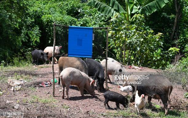 Pigs stand next to a tsetse fly trap made out of blue screens that contains insecticide that is set by Pierre Richet Institute workers to eliminate...