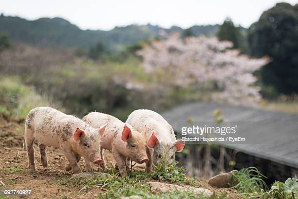 pigs standing on field against mountain at farm - 家畜 ストックフォトと画像