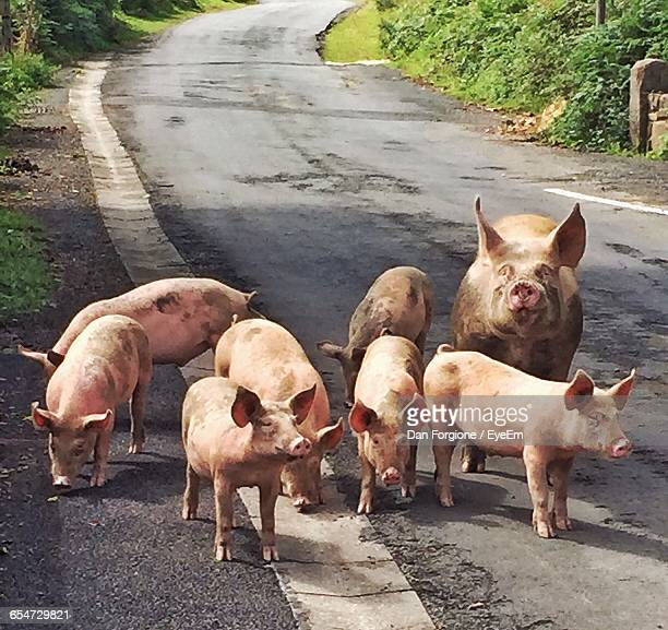 pigs standing on road - saint jean pied de port stock photos and pictures