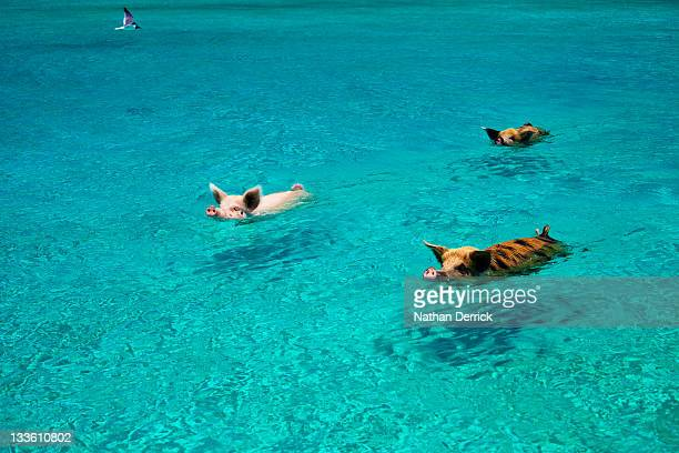 pigs swim - pig stock pictures, royalty-free photos & images