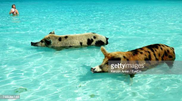 Pigs Swimming In Sea