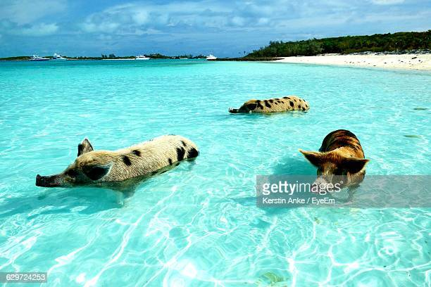 Pigs Swimming In Turquoise Sea Against Sky