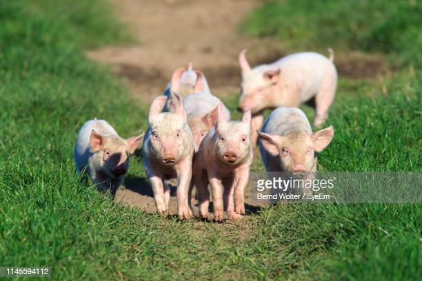 Pigs Walking On Field