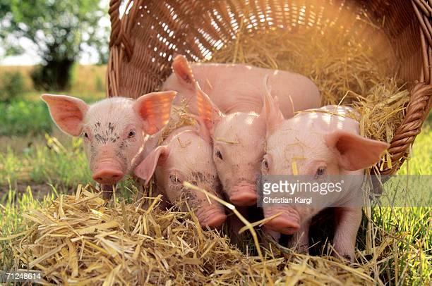 Pigs with basket in field