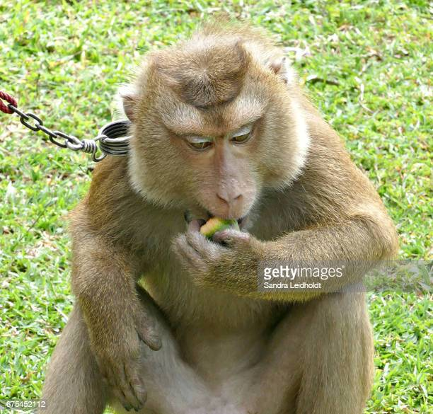 Pigtailed Macaque Eating - Ko Samui, Thailand