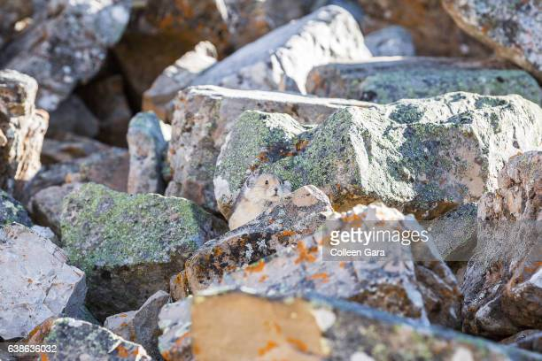 Pika Among Rocks in the Canadian Rockies
