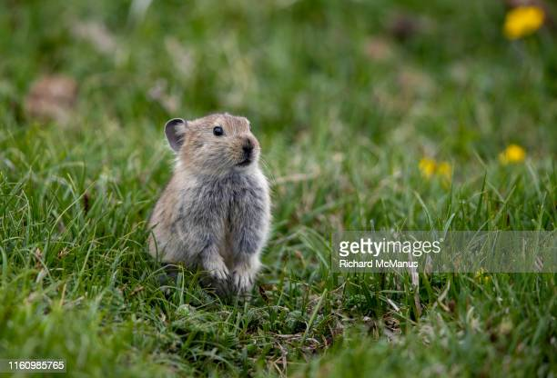 pika at flower lake - pika stock pictures, royalty-free photos & images