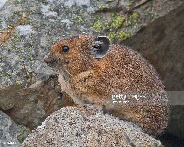 pika coming out of its burrow in the rocks - pika stock pictures, royalty-free photos & images