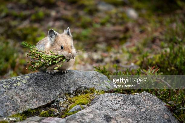 a pika eating grass. - pika stock pictures, royalty-free photos & images