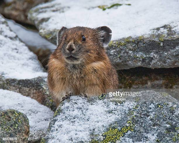 pika in snow covered rocks - jeff goulden stock pictures, royalty-free photos & images