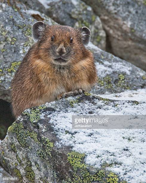 pika in snow covered rocks - pika stock pictures, royalty-free photos & images