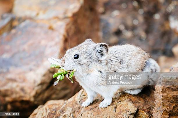 pika near eielson visitor center - pika stock pictures, royalty-free photos & images