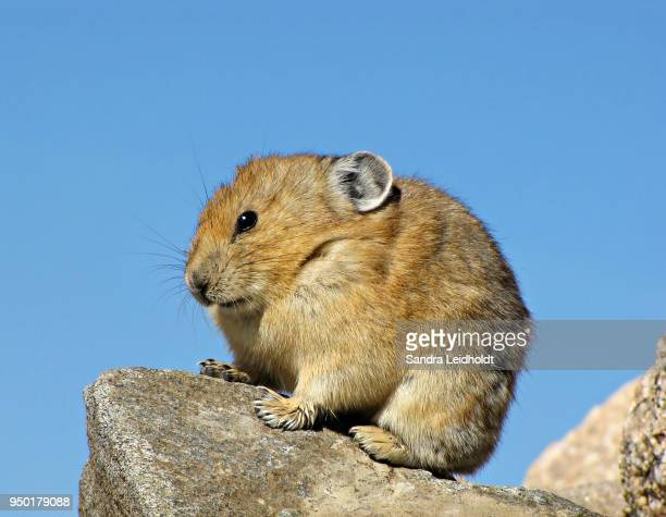 pika on mount evans - colorado rocky mountains - pika stock pictures, royalty-free photos & images