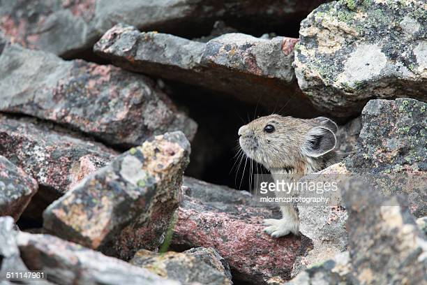 pika - pika stock pictures, royalty-free photos & images