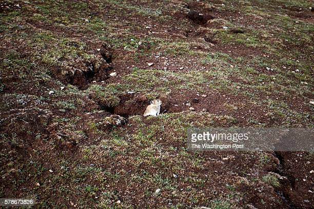 Pika, small mammal, comes out of its burrow at sunset times to look for food in the surroundings of Ganda Village in Qinghai province, on May 30th...
